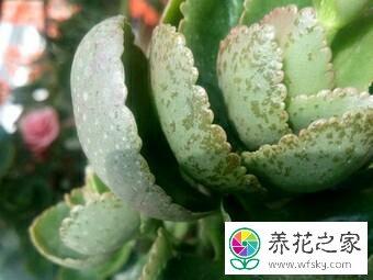 长寿花叶子上有黑斑图片