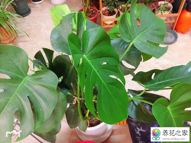 龟背竹的茎越长越细、叶片也变小是为什么