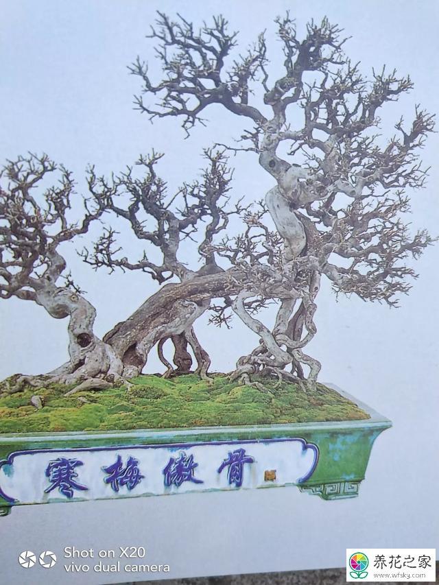 榆树盆景怎样设计造型及图片