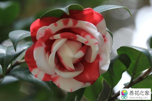 五色赤丹是嫁接的吗_家里养的茶花18学士应该在什么时候开花_养花之家