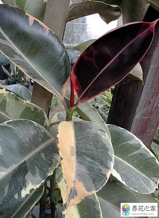 橡皮树叶子发黄发黑图片