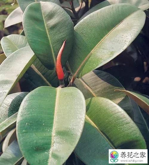 橡皮树叶子发黄掉落图片