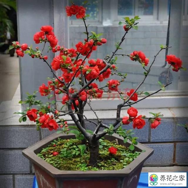 四季海棠啥时候开花图片