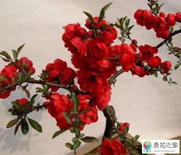 海棠一般什么时候开花图片