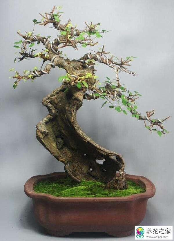 榆树盆景如何换盆