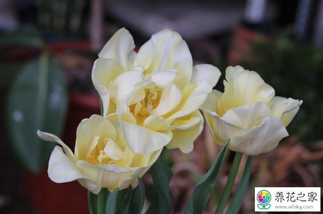 使用磷酸二氢钾养花应该注意什么