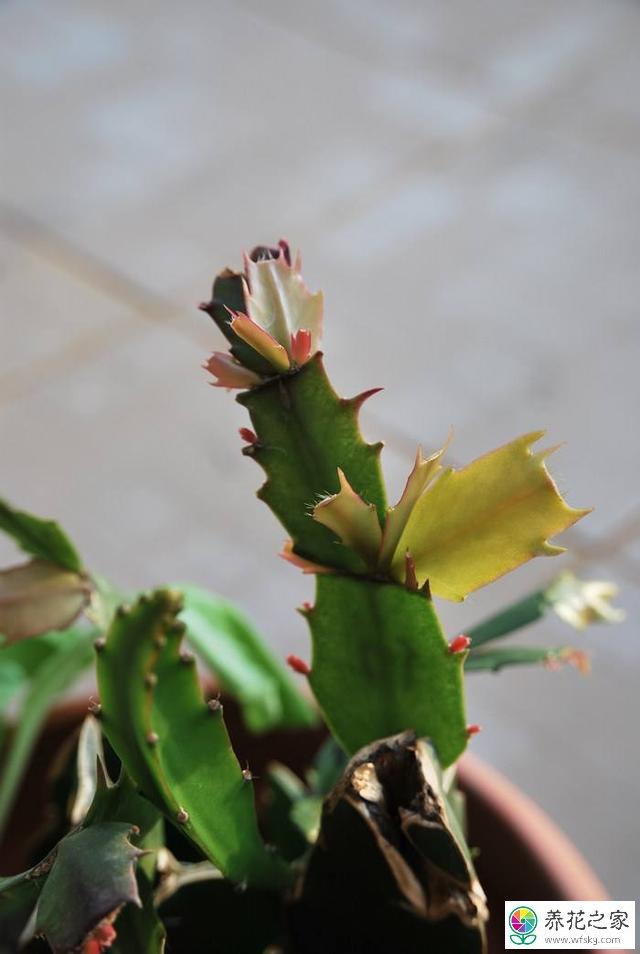 蟹爪兰叶子发红不长图片