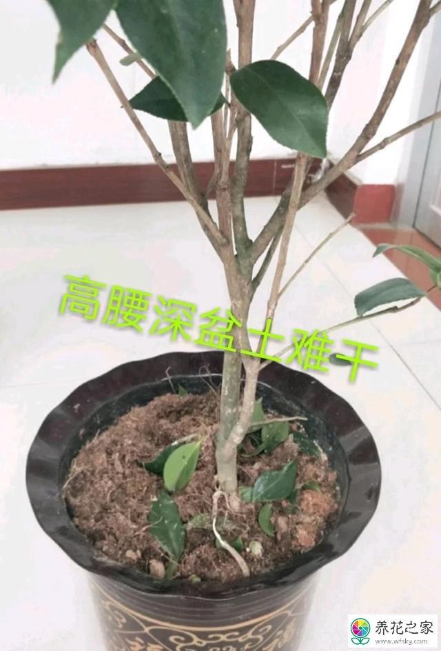 茶花换盆后掉叶子图片