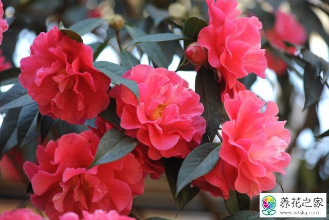 五色赤丹是嫁接的吗_盆栽山茶花可以嫁接吗?怎么实现一树多花_养花之家