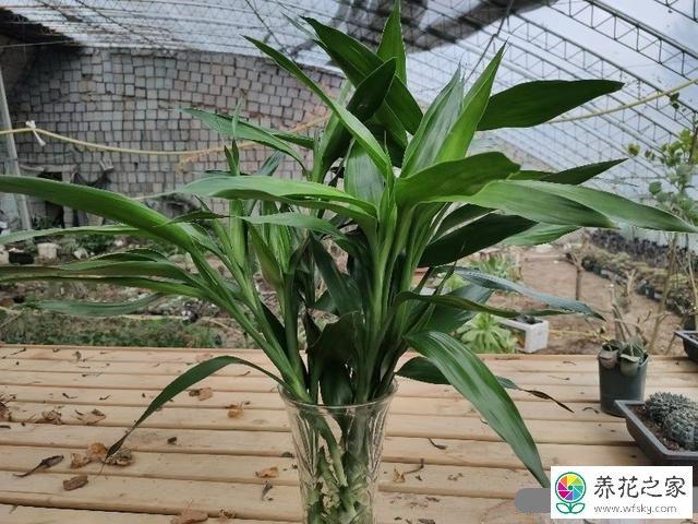 怎么水培富贵竹?怎么快速长根