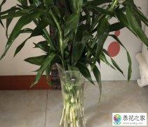水培富贵竹叶子发黄根部发臭怎么回事
