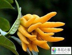 佛手花的叶子从下面开始发黄是什么原因