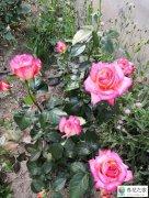 月季笋芽打顶后出现两个侧芽都带花苞留下吗