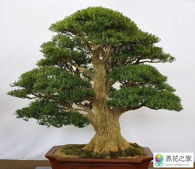 修剪黄杨树最佳季节图片