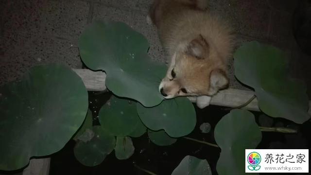 碗莲和水缸养莲花需要注意的事情