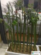 野蔷薇老桩上面多余锯断的老杆怎样扦插容易成活