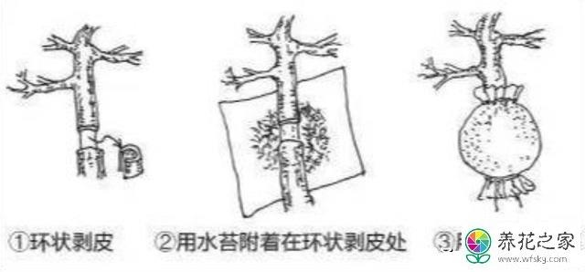 皱皮黄杨的繁殖方法