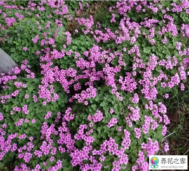 农村常见的红花酢浆草