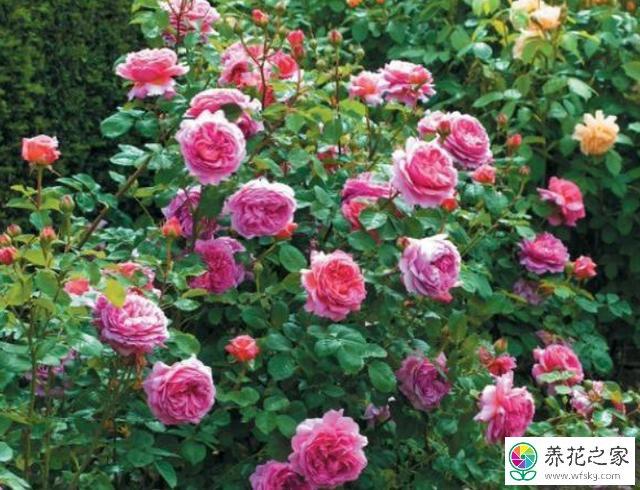 区分月季和玫瑰的方法