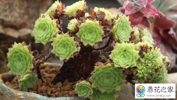 多肉植物凤凰精灵图片