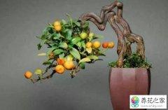 柿子树如何盆栽
