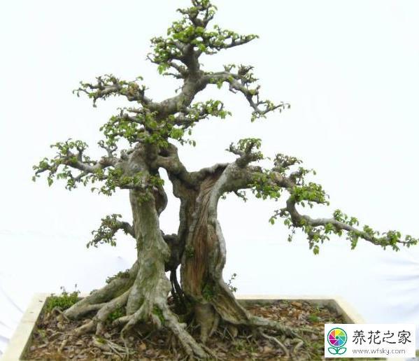 怎么让榆树苗长得又高又茂盛