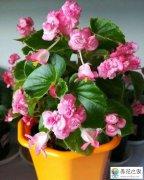 繁殖四季海棠的方法