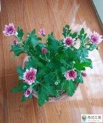 夏季菊花怎么养护