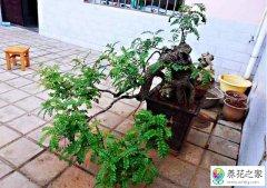 清香木盆景下山桩栽培经验