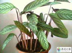 紫背竹芋怎么养护