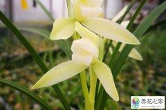 兰花发生花瓣焦尖一般是什么原因导致