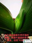 君子兰出现叶间芽的原因以及解决方法
