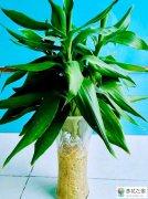 让富贵竹变得更绿方法有哪些