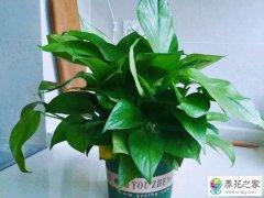 绿萝叶子发黄有两种直接原因和一种隐藏原因