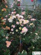 当年移栽后蔷薇小苗怎样使枝条长得粗壮点