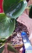 扦插的绿植老是烂根是什么原因