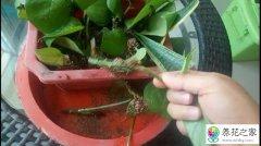 绿萝怎么扦插容易生根